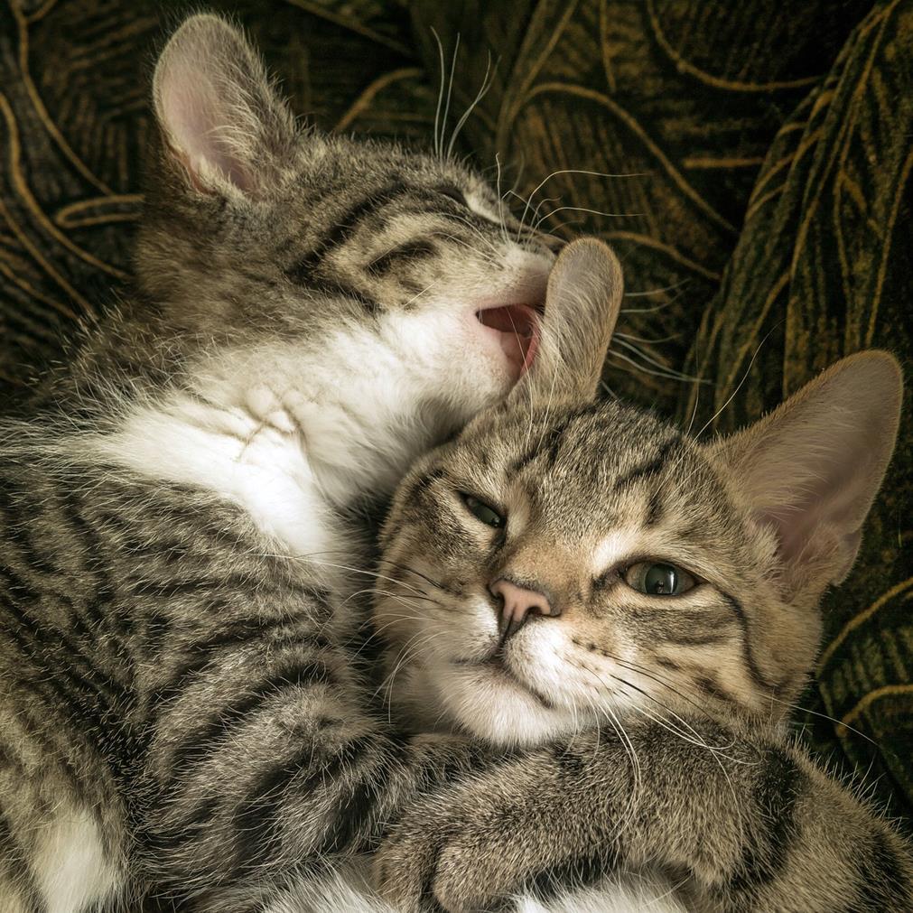 Gros plan de deux chatons, joue contre joue, s'enlaçant, l'un donnant un généreux coup de langue à l'autre