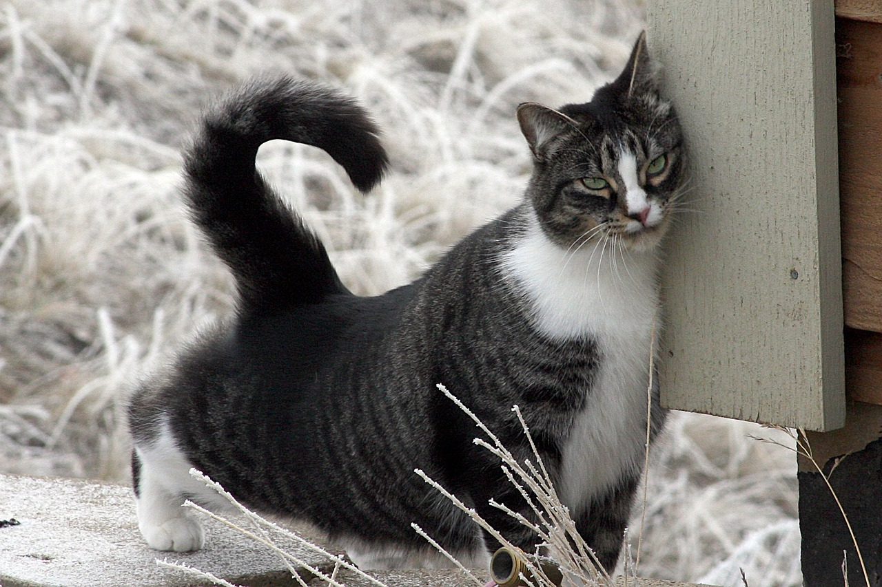 Un chat se frotte avec ardeur le bord du menton contre un rebord de meuble, ses pattes étendues vers l'arrière, la queue dressée